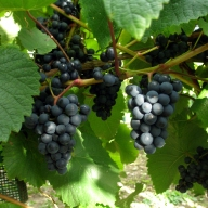 sealwood-vineyard-grapes[1]